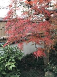 事務所の紅葉が見ごろになり、秋…