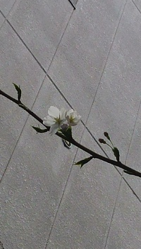 さくら、咲く~♪♪♪
