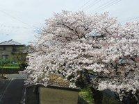 【醍醐事業所】サクラ2017