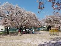 【石田事業所】さよなら桜