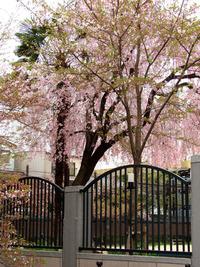 木屋町のしだれ桜は満開