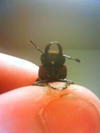 くわがた虫