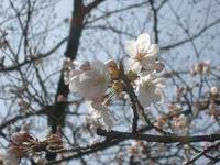 桜~銀閣寺道~