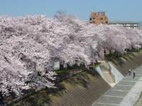 2015 桜並木 京都鴨川