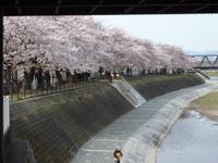 桜並木 2013 鴨川某所 京都市南区