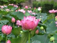 東本願寺の蓮の花、きれい! 2013/08/04 06:01:44