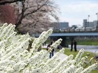 桜もいいけど、雪柳もいいね。