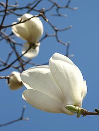 京都御苑・白木蓮も咲き始めました。