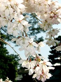 京都御苑・近衛邸跡の糸桜