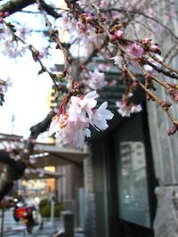 今年も咲いてくれたね『御池桜』