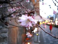 命名!『御池桜』