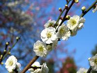 京都御苑の梅林 わたし好みの白梅です。
