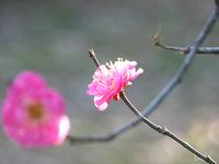 京都御苑の梅林で、ちらほらと…
