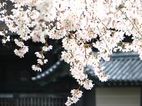 京都御苑 近衛の糸桜の周辺