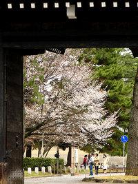 京都御苑 蛤御門の桜 3月30日
