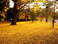 晩秋の京都御苑 黄色の絨緞(じゅうたん)
