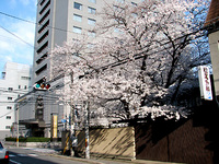 桜満開!東洞院高辻の松尾外科さんの桜。