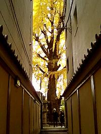 本能寺の銀杏