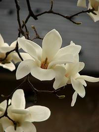 京都御苑・白木蓮が八分咲き