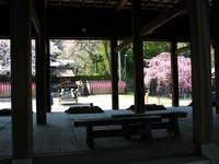 「山王祭」を控えて坂本は桜満開