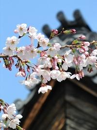 真宗興正派本山・興正寺の桜