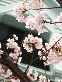桜2010 京都ハリストス正教会 2010/03/31 23:45:21