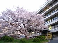 京都逓信病院の桜・2010